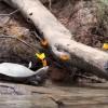【動画】カメの涙を飲むアマゾンの蝶たち