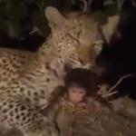 【動画】母ザルを殺した野生のヒョウがその子供を育てようとする、動物の不思議