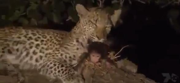 メスヒョウと子ザルの奇妙な関係