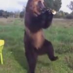 【動画】ロシアの熊がトランペット吹いたり、フラフープしたり…