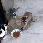 【動画】泥棒アライグマの見事な窃盗スキル、猫たちはなすすべなく…