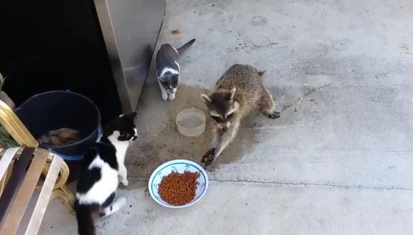 泥棒アライグマ