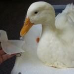 3Dプリンタで鳥の義足を作成、足の不自由なアヒルが歩けるようになった!!