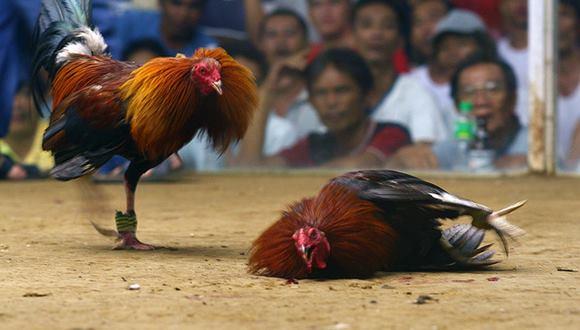 ルーマニア王女 逮捕 cockfighting