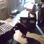 【動画】頭の切れる熊さん、レストランから生ごみをゴミ箱ごとお持ち帰り