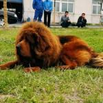 中国の動物園が犬をライオンに見せかけて展示