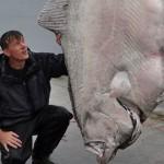 ドイツの釣り人が233kgの超巨大カレイ(オヒョウ)をキャッチ、世界記録更新か