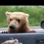 【動画】ロシアのハイウェイで物乞いをするクマたち