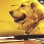 【動画】ギターのリズムに合わせて縦ノリするゴールデン・レトリバー