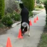 【動画】逆立ち歩きにスケボー、こいつは世界一優秀な犬かも