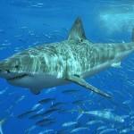 オーストラリアのサメ300匹がTwitterを開始、「サメ接近中!」の警告をリアルタイムで伝えてくれる