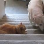 猫「ここは通さん…」、ビビって先に進めない犬たちの映像