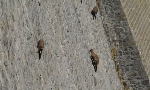 イタリア 山ヤギ 壁7