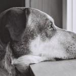犬は写真を見て飼い主の顔を認識できるらしい