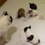 子犬たちに遊び方を教えるフレンチ・ブルドッグのパパ、かわいい…