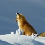 キツネが持つ驚きの特殊能力、雪の中に頭からダイブして見えない獲物を捕える秘密とは?