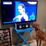 【動画】テニス観戦が大好きでたまらない犬がいた