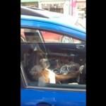 【動画】主人を待ちきれず車のクラクションを鳴らすボクサー犬