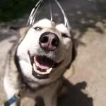 【動画】ヘッドマッサージャーが気持ち良すぎでウットリするハスキー犬