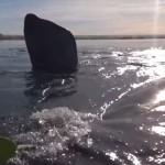 【動画】カヤックでクジラに大接近、まるで漫画のような展開に!!