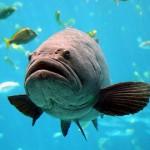 【動画】大西洋の巨大魚イタヤラがサメを丸呑み!!