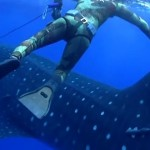 【動画】背後から巨大なジンベエザメが突然現れた!!