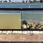 海のお掃除屋さん、カキの驚くべき浄水能力!!