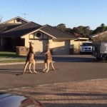 オーストラリアではカンガルーがストリートファイト