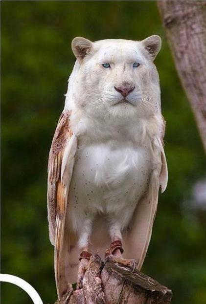 ライオンフクロウ