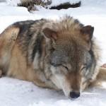 【動画】イヌ×オオカミのハイブリッド・ウルフが想像以上に巨大