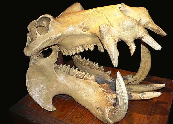 カバ 頭蓋骨
