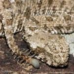 シッポが蜘蛛!?究極の進化を遂げた猛毒クサリヘビ