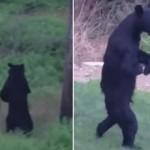 【動画】2本足で住宅街を散歩する不思議なクマ