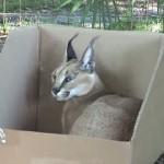何故か箱に入るのが大好きなネコ科の動物たち