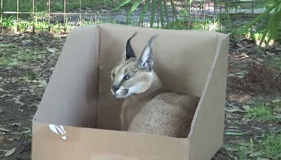 ネコ科 箱が好き
