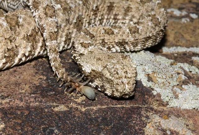 クサリヘビ 蜘蛛のシッポ