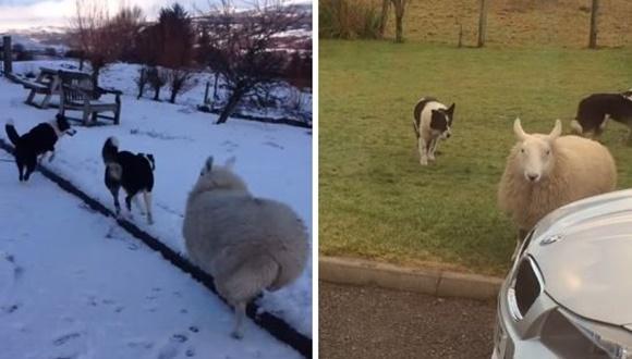 犬のような羊