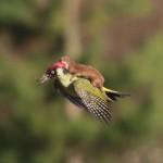 奇跡の一枚!!イタチを背中に乗せて空を飛ぶキツツキがいた