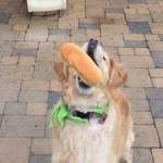 【動画】ご馳走を口でキャッチできない不器用なレトリバー犬