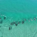 【空撮】オーストラリアの海岸で集団サーフィンを楽しむイルカたち