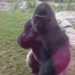 【動画】突然飛びかかってくる動物園のゴリラが怖すぎる