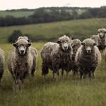 「羊に対して汚い言葉を浴びせるのはやめろ」動物愛護団体PETAが牧場主に抗議