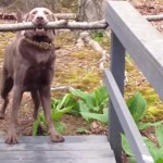 大きな棒をくわえて狭い橋を渡ろうとするけど渡れない犬、可哀そうだけど可愛い
