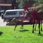 【動画】ムースの家族が庭に水浴びをしに来たらしい
