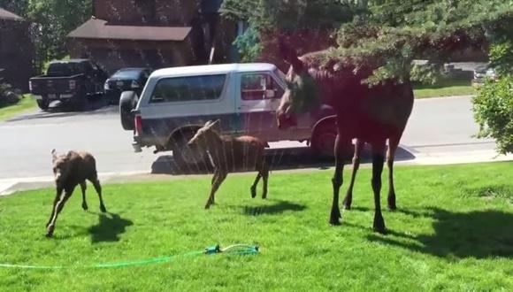 ムース 水浴び 動画