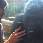 ゴリラの写真をスマホで見せられた時のゴリラのリアクション