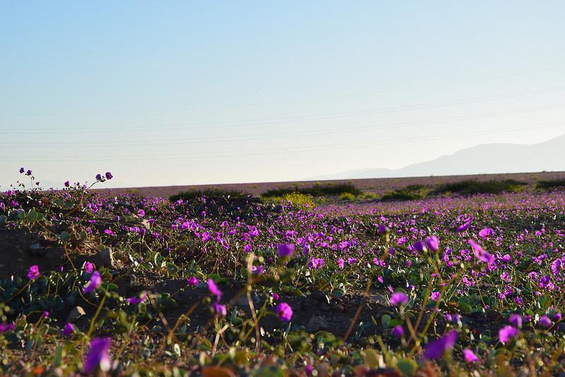 アタカマ砂漠 花4