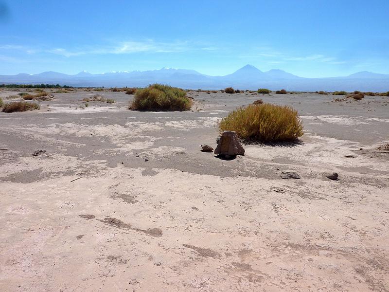 アタカマ砂漠 花1
