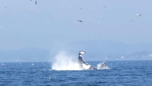 シャチ 尻尾 狩り