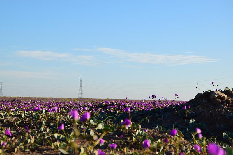 アタカマ砂漠 花3